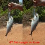 gt fish